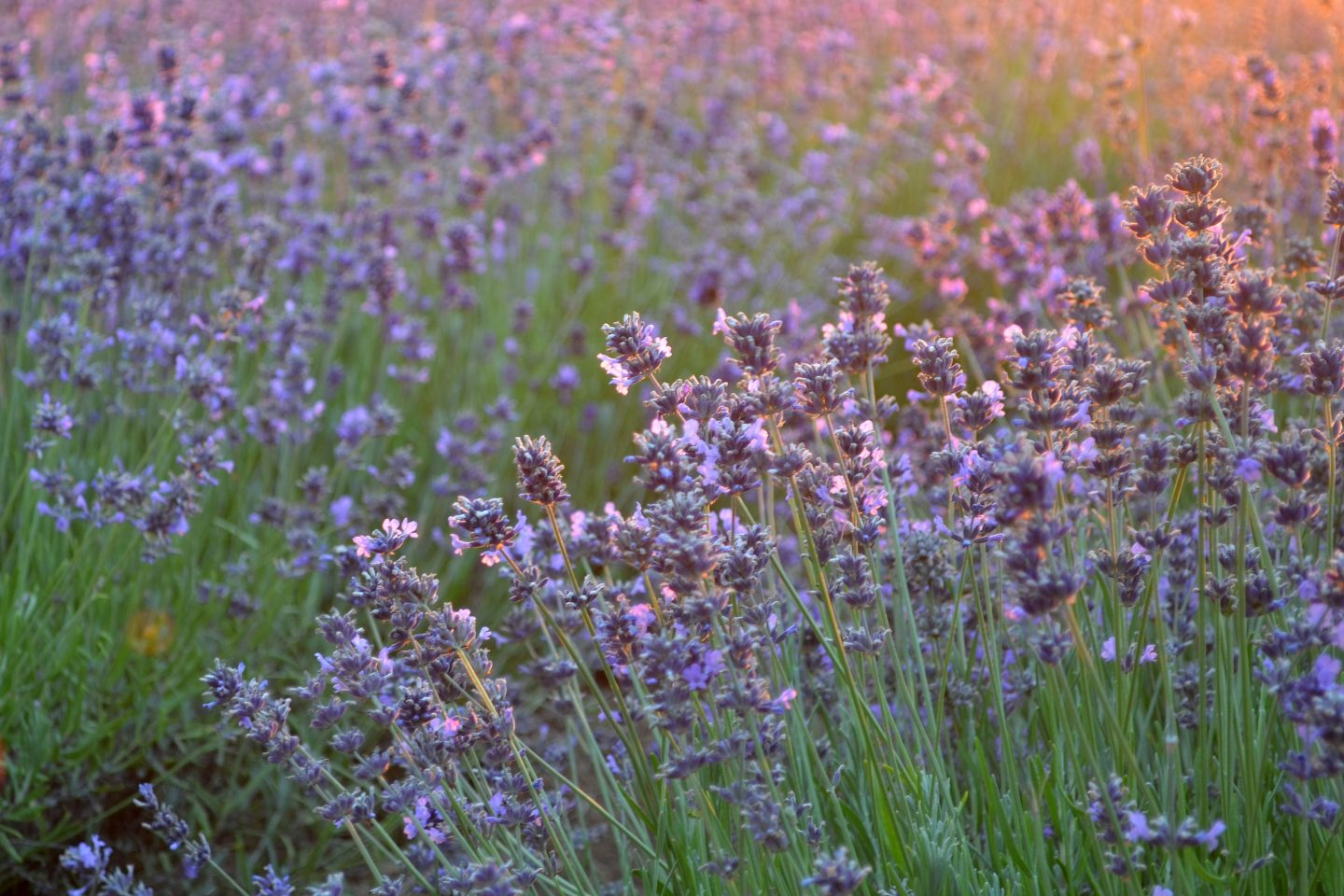 Lavender Fields Forever (Visiting TAOASIS)